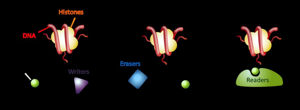 Histone modification research